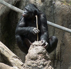 This is a bonobo ape using a stick to eat termites.