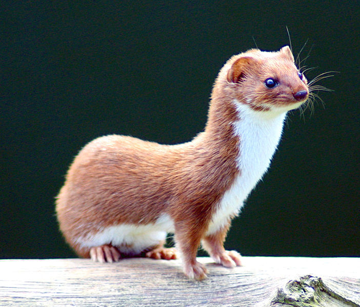 Here's what a weasel looks like. I was really tempted to use a picture of Pauly Shore but I thought that might be too obscure.